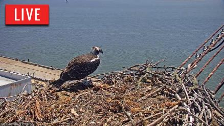 San Francisco Bay Osprey Nest Cam